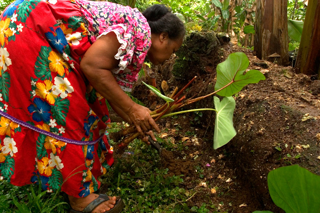 Planting taro, Pohnpei, Federated States of Micronesia (FSM)